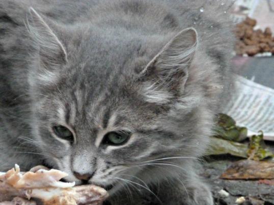 gattospondacinese2